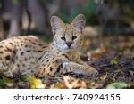 Close Young Serval Cat  Felis...