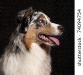 Australian Shepherd Dog  10...
