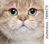 Close Up Of British Shorthair...