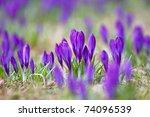Violet Crocuses Growing Happil...