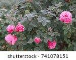 winter in the garden. hoarfrost ... | Shutterstock . vector #741078151