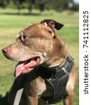 pit bull at the park | Shutterstock . vector #741112825
