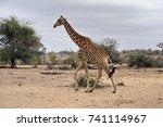 giraffe in kruger national park | Shutterstock . vector #741114967