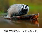 badger in the water  animal in... | Shutterstock . vector #741252211