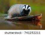 badger in lake water  animal... | Shutterstock . vector #741252211