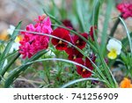 deep red and white heartsease... | Shutterstock . vector #741256909