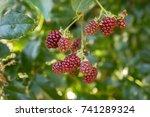 Rubus Fruticosus Big And Tasty...
