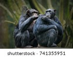 chimpanzee consists of two... | Shutterstock . vector #741355951