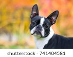 Boston Terrier Dog Female...