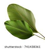 calathea lutea foliage | Shutterstock . vector #741438361