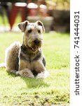 Small photo of Airedale Terrier