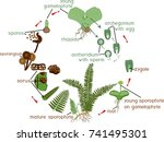 fern life cycle. plant life... | Shutterstock .eps vector #741495301