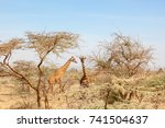 Giraffes Among The Trees On The ...