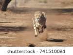 running cheetah  exercising... | Shutterstock . vector #741510061