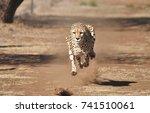running cheetah  exercising...   Shutterstock . vector #741510061