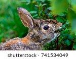 rabbit eating rosebush leaves