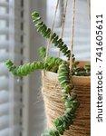 Succulents  Crassula Nealeana ...