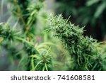 cannabis  cannabis background | Shutterstock . vector #741608581