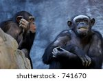 Two Adult Chimpanzees Talking...