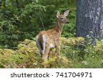A White Tailed Deer Fawn ...