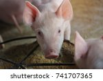 close up piglet waiting feed in ... | Shutterstock . vector #741707365