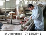 Stock photo veterinarian doctor examining pigs at a pig farm intensive pig farming veterinarian doctor 741803941