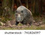 Wild Boar  Sus Scrofa  Czech...