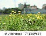 Small photo of Yellow aspilia with flower in the city field