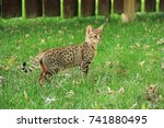 Savannah Cat. Beautiful Spotte...
