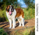 Small photo of Saint Bernard looking up adoringly while walking on a path in the dog park