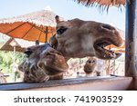 funny muzzle giraffes close up | Shutterstock . vector #741903529