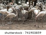 a large flock of pink flamingos | Shutterstock . vector #741903859