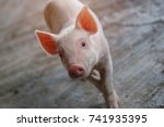 piglet waiting feed. pig indoor ... | Shutterstock . vector #741935395