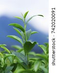 green tea leaves in a tea...   Shutterstock . vector #742020091
