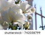 white rose   Shutterstock . vector #742038799