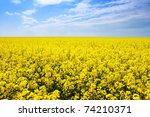 Yellow Field Rapeseed In Bloom...