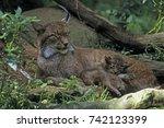felis lynx  lynx lynx  eurasian ...   Shutterstock . vector #742123399