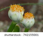 haemanthus albiflos is a... | Shutterstock . vector #742155001