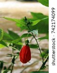 Small photo of Red Abutilon bell shaped tropical flower growing in Laos on a riverbank.