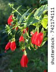 Small photo of Red Abutilon bell shaped tropical flowers growing in Laos.