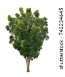broad leaf mahogany isolated on ...   Shutterstock . vector #742234645