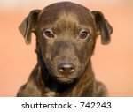 Patterdale Puppy