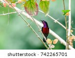 Small photo of Aethopyga siparaja, A beautiful and colorful Crimson sunbird on branch.