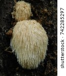hericium erinaceus also called... | Shutterstock . vector #742285297