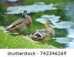 ducks on the shore of the pond. | Shutterstock . vector #742346269