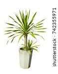 dracaena loureiri tree or pha... | Shutterstock . vector #742355971