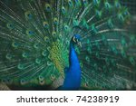 Peacock Bird Closeup Backgroun...