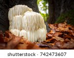 Stock photo the rare edible lion s mane mushroom hericium erinaceus pruikzwam in the forest beautifully 742473607