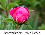 closeup of red peonies in the...   Shutterstock . vector #742545925
