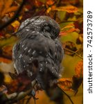 Small photo of Close up of little boreal owl Aegolius funereus sitting on branch and sleeping in furcate dense branch of wild forest around. Wildlife tranquil portrait scene of bird in nature habitat background